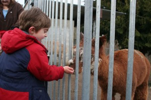 Simeon feeding llamas at the Cougar Mountain zoo